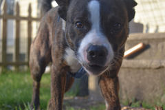 Schließen Sie herauf Grenze Collie Boston Terrier Puppy Lizenzfreie Stockbilder