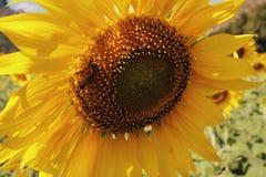 Schließen Sie herauf große Sonnenblume Lizenzfreie Stockfotos