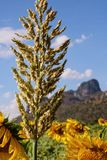 Schließen Sie herauf großen Blüten-Mais Stockbilder