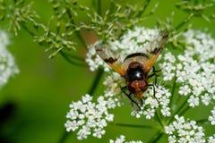 Schließen Sie herauf großes geschecktes hoverfly auf einer weißen Blume Stockfotos