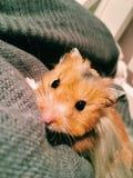 Schließen Sie herauf Hamster Lizenzfreie Stockfotos