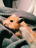 Schließen Sie herauf Hamster Lizenzfreies Stockbild