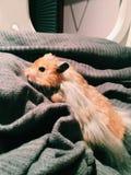 Schließen Sie herauf Hamster Stockbilder