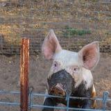 Schließen Sie herauf Hauptschuß des traurigen, ernsten einzelnen schmutzigen jungen inländischen rosa Schweins mit schlammigem Ge Stockbilder