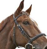Schließen Sie herauf Hauptschuß eines braunen Pferds Lizenzfreie Stockfotografie