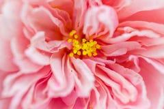 Schließen Sie herauf Herz der rosa Hibiscusblume lizenzfreie stockbilder