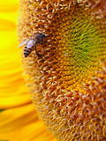 Schließen Sie herauf Honigbiene auf einer Sonnenblume Stockfotografie