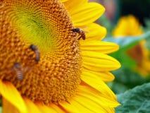 Schließen Sie herauf Honigbiene auf einer Sonnenblume Stockfotos