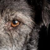Schließen Sie herauf Hundehalbes Gesicht mit orange Auge Lizenzfreies Stockfoto