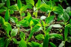Schließen Sie herauf junge Samenkeimung und pflanzen Sie das Wachsen mit Regenwassertropfen über Grün- und Morgensonnenlichtumwel Stockbilder
