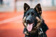 Schließen Sie herauf jungen Elsässer Wolf Dog German Shepherd Dog lizenzfreies stockbild
