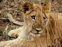 Schließen Sie herauf jungen Löwe stockfotos