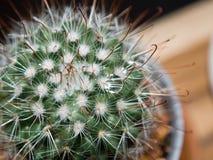 Schließen Sie herauf Kaktus Lizenzfreies Stockbild