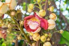 Schließen Sie herauf Kanonenkugelbaumblumen, Couroupita-guianensis, Couroupit Lizenzfreies Stockfoto