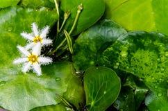 Schließen Sie herauf kleine Blüte des weißen Lotos im Sumpf: Lotos und Sumpfba Stockbilder