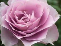 Schließen Sie herauf Lavendel Rose Stockfotografie