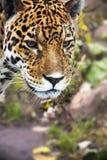 Schließen Sie herauf Leopard-Portrait Lizenzfreies Stockbild