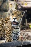 Schließen Sie herauf Leopard-Portrait Lizenzfreie Stockfotografie