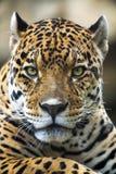 Schließen Sie herauf Leopard-Portrait Stockfotos