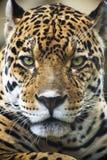 Schließen Sie herauf Leopard-Portrait Stockbild