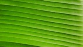 Schließen Sie herauf Linien des grünen Bananenurlaubs stockbild
