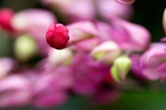 Schließen Sie herauf lodernde Laube der Blume des blutenden Herzens Lizenzfreies Stockbild