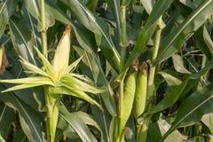 Schließen Sie herauf Mais auf dem Stiel lizenzfreies stockfoto