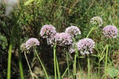 Schließen Sie herauf Makro des sibirischen Knoblauch-Schnittlauchs, der an einem sonnigen Tag im Biogarten, unscharfer Hintergrun Lizenzfreie Stockfotos