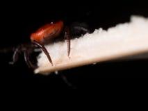 Schließen Sie herauf Makro von Rotwild Tick Crawling auf Stroh Lizenzfreie Stockfotos