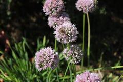 Schließen Sie herauf Makro von wilden breitblättrigen Schnittlauchen, Lauch senescens und an einem sonnigen Tag im Biogarten wach Stockfotos