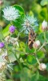 Schließen Sie herauf Makrobild schönes orange braunes Insekt, das auf weißen purpurroten Blumen sitzt stockbild