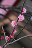 Schließen Sie herauf Mandelblüten Stockfotos