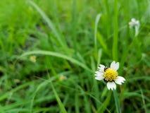 Schließen Sie herauf Mantelknopfblume stockbild