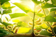 Schließen Sie herauf Maulbeerobstbau oben im Garten zu Hause und im schönen Sonnenlichthintergrund, frisch und geschmackvoll stockfotos