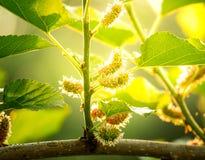 Schließen Sie herauf Maulbeerobstbau oben im Garten zu Hause und im schönen Sonnenlichthintergrund, frisch und geschmackvoll stockfotografie