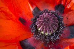 Schließen Sie herauf Mohnblumenblume lizenzfreie stockfotos
