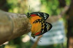 Schließen Sie herauf Monarchfalterzüchtung Lizenzfreie Stockfotografie