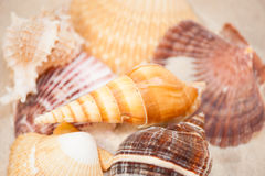 Schließen Sie herauf Muscheln im Sand Stockbilder