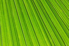 Schließen Sie herauf neue grüne Palmblattbeschaffenheit Lizenzfreie Stockfotos