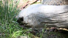 Schließen Sie herauf Od einen Schildkrötenkopf während sein Essengras stock footage