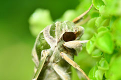 Schließen Sie herauf Oleander-Falkemotte (Daphnis nerii) Stockfotografie