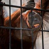 Schließen Sie herauf Orang-Utan Stockbilder