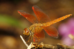 schließen Sie herauf orange Libelle im Garten Thailand Stockfotografie