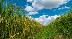 Schließen Sie herauf Paddyjasmin-Reisfeld mit dem schönen blauen bewölkten Himmel lizenzfreie stockfotografie