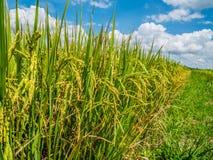 Schließen Sie herauf Paddyjasmin-Reisfeld mit schönem blauem Himmel lizenzfreie stockfotos
