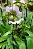 Schließen Sie herauf Paphiopedilum, den Orchideen blühen und grünen Sie Orchideenblatt mit grünem Hintergrund Stockbilder