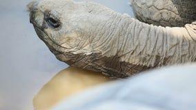 Schließen Sie herauf PF einen Schildkrötenkopf stock video
