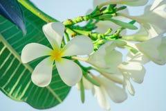 Schließen Sie herauf Plumeriablume Stockfotos