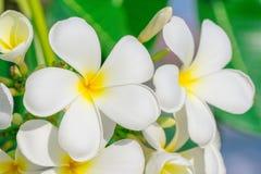Schließen Sie herauf Plumeriablume Stockfoto