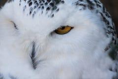 Schließen Sie herauf Porträt der netten schläfrigen Schneeeule, die mit Auge blinkt Stockbilder